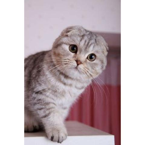 Scottish fold lindos bbs ! - Foto 2