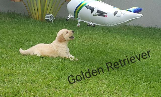Golden Retriever macho & femea de pronta entrega