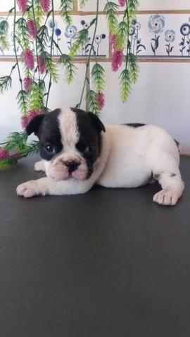 Machinho Bulldog francês