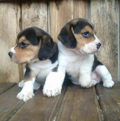 Beagle alto padrao - Foto 2