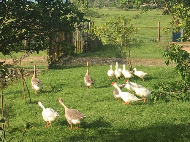 Venda de gansos e patos
