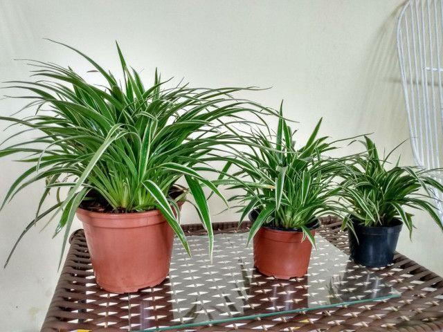 Vendo esse conjunto de planta capim paulista  - Foto 3