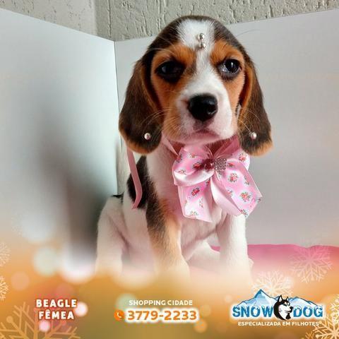 Beagle Fêmea tricolor no Snow Dog do Shopping Cidade, venha conhece-la