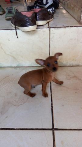 Cachorrinho pinscher