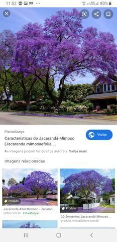 Pés de jacarandá azul mimoso - Foto 3