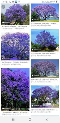 Pés de jacarandá azul mimoso