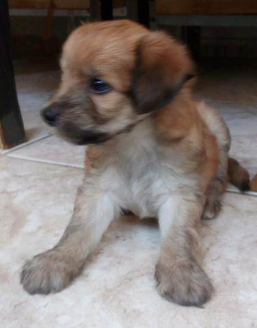 Poodle x Cocker 120 cada.chama no whats 9- * entregamos