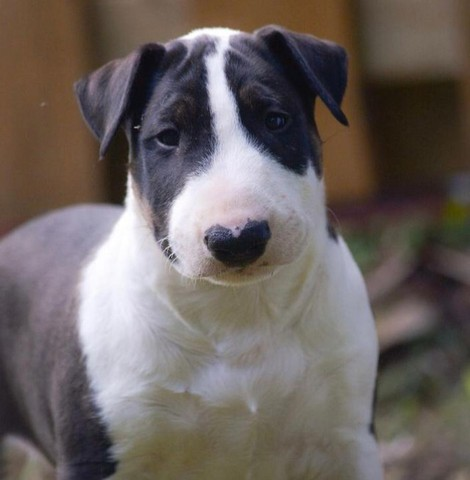 Filhotes de Bull Terrier promoção só hoje