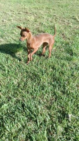 Hospedagem/ Dog Walker/ Pet Sitter Para Cachorros - Foto 6