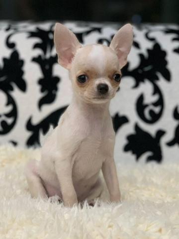 Chihuahua os mais perfeitos Cores raras Whats