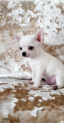 Filhotinhos de Chihuahua macho e fêmea lindas cores * - Foto 2