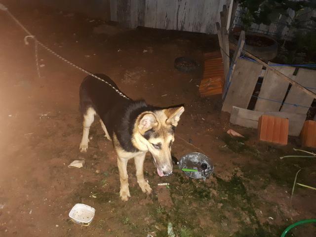 Vendo uma cachorra pastor alemão fêmea de 7 meses