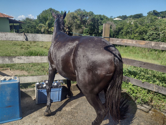 Égua preta - Foto 3