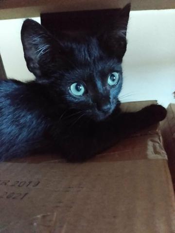 Doa-se lindo gatinho macho pretinho