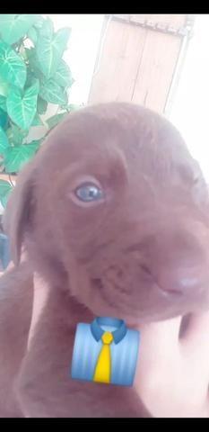 Filhotes de Labrador puros - Foto 3