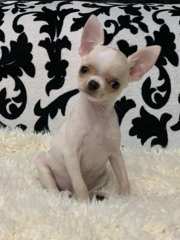 Chihuahua os mais perfeitos Cores raras Whats - Foto 2