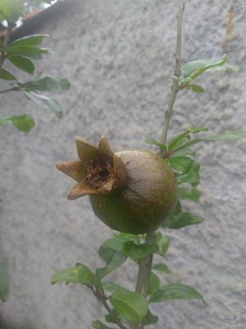 Romá com frutas - Foto 2