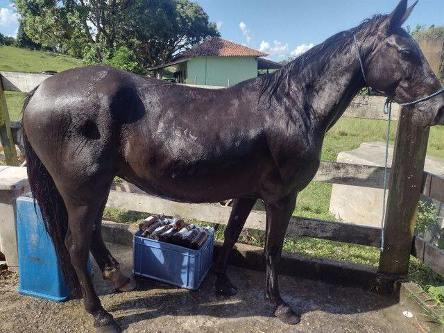 Égua preta - Foto 4