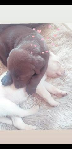 Filhotes de Labrador puros - Foto 5