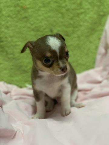 Chihuahua os mais perfeitos Cores raras Whats - Foto 4