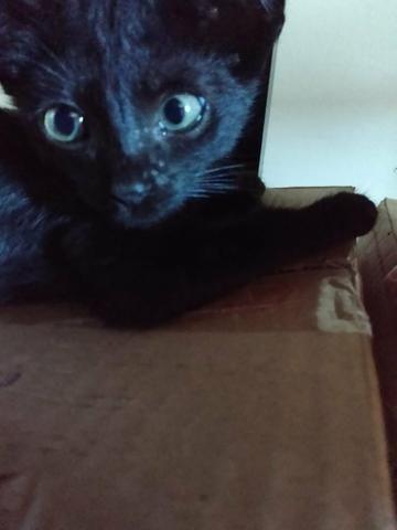Doa-se lindo gatinho macho pretinho - Foto 2