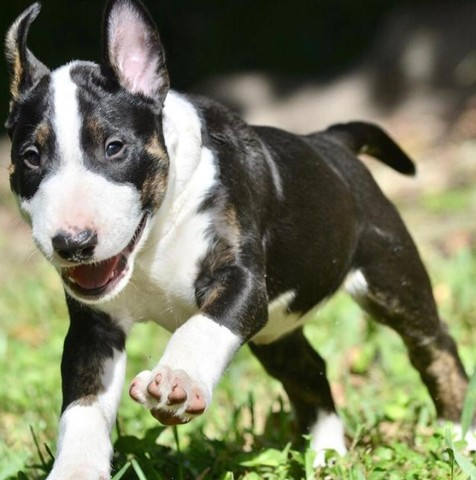 Filhotes de Bull Terrier promoção só hoje - Foto 3