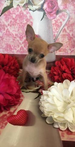 Filhotinhos de Chihuahua macho e fêmea lindas cores * - Foto 3