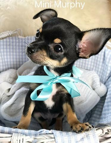 Filhotinhos de Chihuahua macho e fêmea lindas cores *