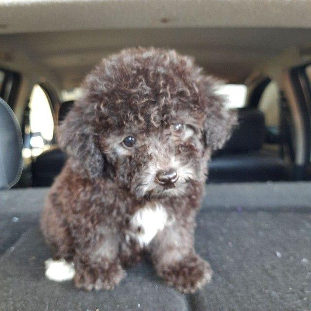 Lindo bebê de poodle puro machinho  - Foto 2