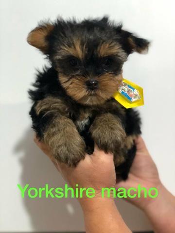 Filhotes de Yorkshire a pronta entrega