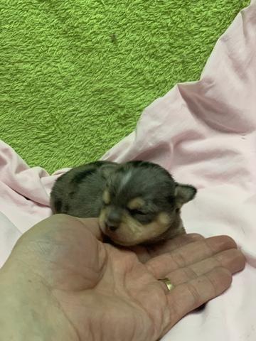 Chihuahua os mais perfeitos Cores raras Whats - Foto 6