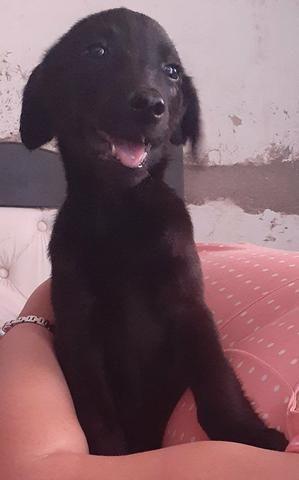 Labrador femea preta - Foto 2