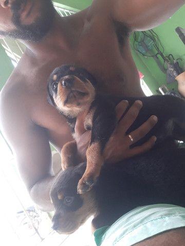 Filhote de rottweiler puro. - Foto 4