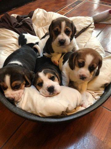 Beagle filhotinhos com pedigree e garantias!
