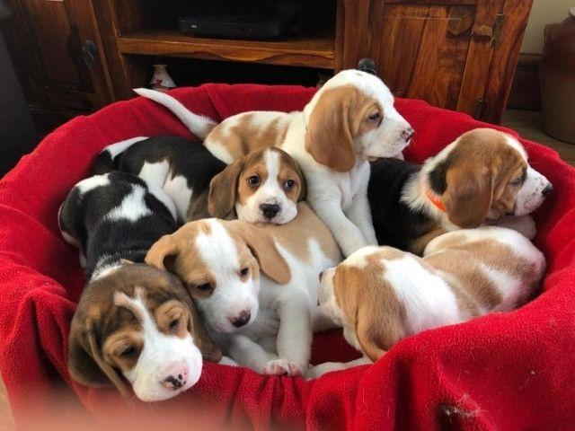 Beagle filhotinhos com pedigree e garantias! - Foto 3