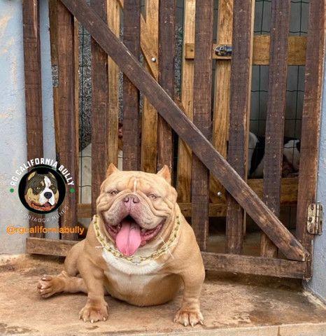 American bully macho para cobertura  - Foto 3