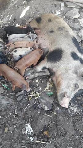8 porcos com 10 dias de nascido