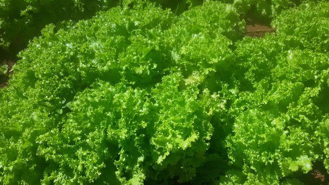 verduras Orgânicas alface etc.. - Foto 4