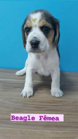 Beagle maravilhosos venha ver