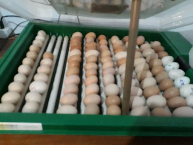 Ovos Galados de Galinhas Rhodes