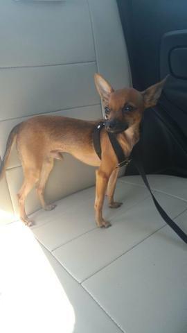 Procuro uma cadelinha Pinscher para cruzar - Foto 4