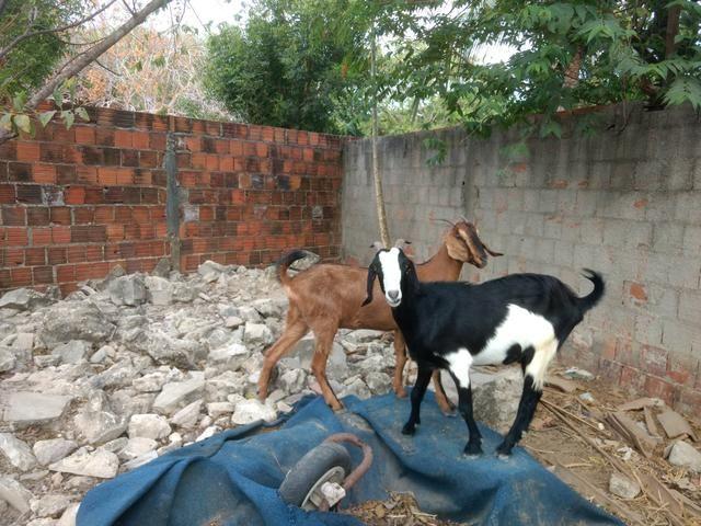 Vendo bodes e cabras