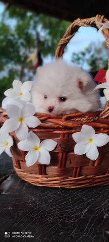 Lindo filhote de Spitz alemão - Foto 4