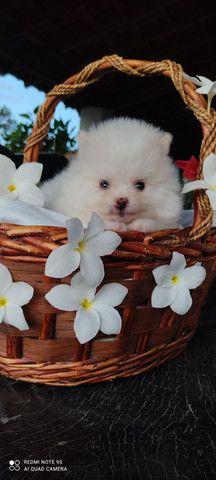 Lindo filhote de Spitz alemão - Foto 5