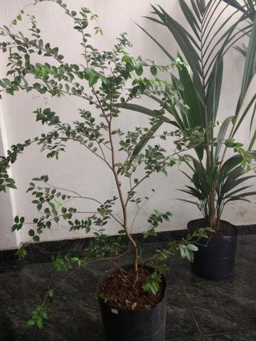 Plantas : Jabuticabeira, Palmeira Laca vermelha, Babosa, Dracena e Palmeira Phafia - Foto 5