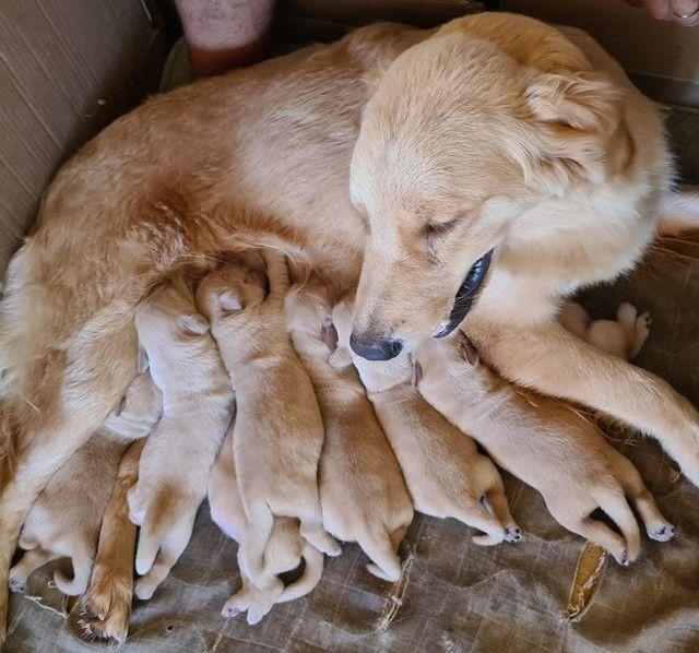 Filhotes de Golden Retriever Alto Padrão - Foto 3