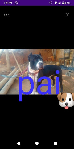 Cachorro pitty Bull - Foto 4
