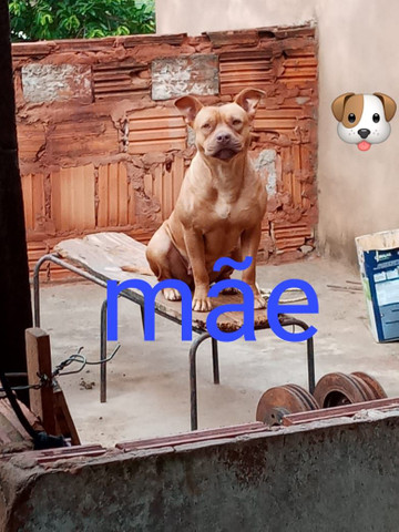 Cachorro pitty Bull - Foto 3