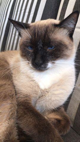 Estou doando Gato siamês castrado - Foto 3