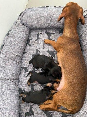 Filhotes de Cachorro Salsicha  - Foto 3